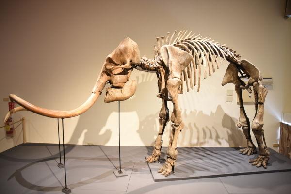 長毛象化石模型